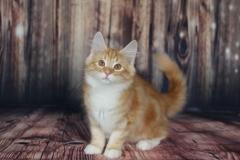 Teddy Furry-Neko котенок норвежской лесной кошки 8