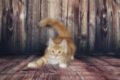 Teddy Furry-Neko котенок норвежской лесной кошки 10