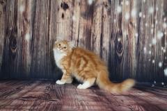 Котенок норвежской лесной кошкиTuta Furry-Neko 16