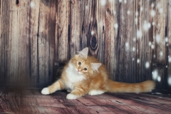 Котенок норвежской лесной кошкиTuta Furry-Neko 20
