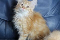 Котенок норвежской лесной кошки Ulrich Furry-Neko 6