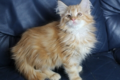 Котенок норвежской лесной кошки Ulrich Furry-Neko 8