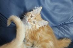 Котенок норвежской лесной кошки Ulrich Furry-Neko 1