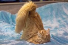 Котенок норвежской лесной кошки Unlim Furry-Neko