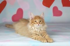 Котенок норвежской лесной кошки Unlim Furry-Neko 1