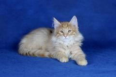 Котенок норвежской лесной кошки Unlim Furry-Neko 4