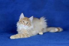 Котенок норвежской лесной кошки Unlim Furry-Neko 5