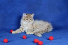 Котенок норвежской лесной кошки Unlim Furry-Neko 8