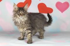 Котенок норвежской лесной кошки Valerian Furry-Neko 26