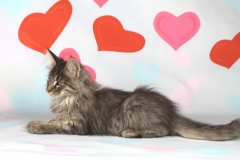 Котенок норвежской лесной кошки Valerian Furry-Neko 24