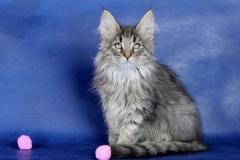 Котенок норвежской лесной кошки Valerian Furry-Neko 18
