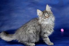 Котенок норвежской лесной кошки Valerian Furry-Neko 17