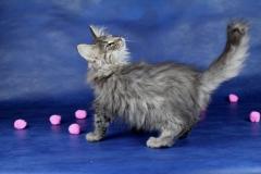 Котенок норвежской лесной кошки Valerian Furry-Neko 15