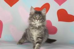 Котенок норвежской лесной кошки Valkyrie Furry-Neko 1