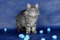 Котенок норвежской лесной кошки Valkyrie Furry-Neko 9