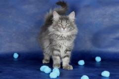 Котенок норвежской лесной кошки Valkyrie Furry-Neko 17