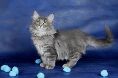 Котенок норвежской лесной кошки Valkyrie Furry-Neko 19