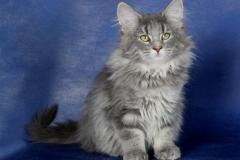 Котенок норвежской лесной кошки Valkyrie Furry-Neko 20