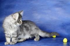 Котенок норвежской лесной кошки Varvara Furry-Neko 25