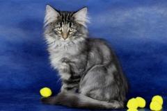 Котенок норвежской лесной кошки Varvara Furry-Neko 15