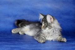 Котенок норвежской лесной кошки Varvara Furry-Neko 16