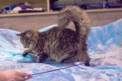 Котенок норвежской лесной кошки Villy Vonka Furry-Neko