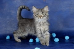 Котенок норвежской лесной кошки Villy Vonka Furry-Neko 3