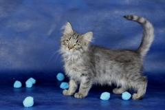 Котенок норвежской лесной кошки Villy Vonka Furry-Neko 6
