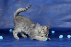 Котенок норвежской лесной кошки Villy Vonka Furry-Neko 7