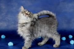 Котенок норвежской лесной кошки Villy Vonka Furry-Neko 9