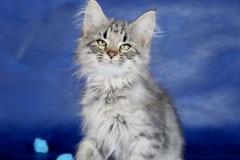 Котенок норвежской лесной кошки Villy Vonka Furry-Neko 12