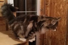 Норвежская лесная кошка William North Cape*Ru