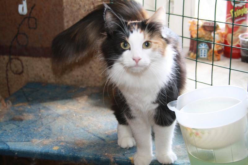 Норвежская лесная кошка Wilma Furry-Neko 3