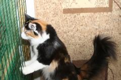 Норвежская лесная кошка Wilma Furry-Neko 4