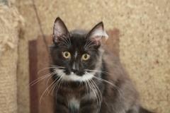 Норвежская лесная кошка Yalma Furry-Neko 44