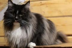 Норвежская лесная кошка Yalma Furry-Neko 1