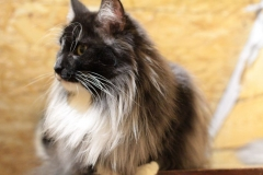 Норвежская лесная кошка Yalma Furry-Neko 6