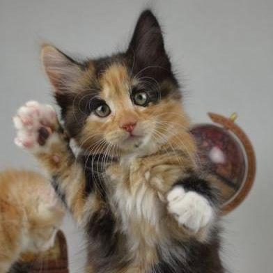 Котенок норвежской лесной кошки питомника Фурри-Неко
