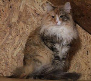 Судзуки норвежская лесная кошка питомника Фурри-Неко