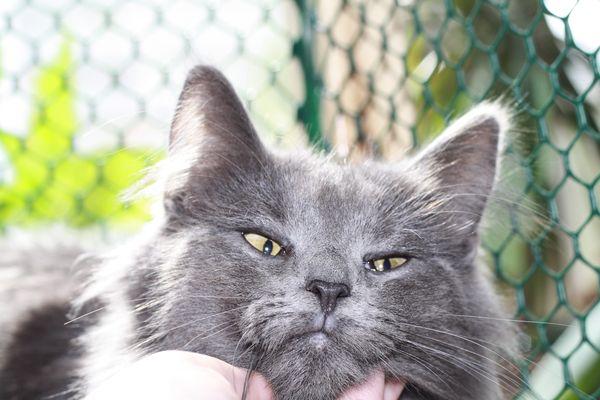 Норвежская Лесная кошка питомника Фурри-Неко