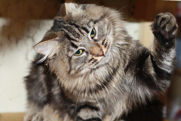 Норвежский лесной кот питомника Фурри-Неко