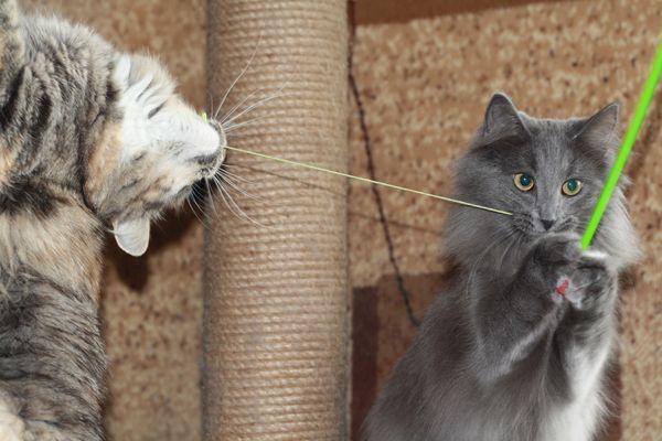 Норвежские лесные кошки питомника Фурри-Неко